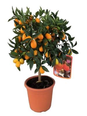Kumquat Enano