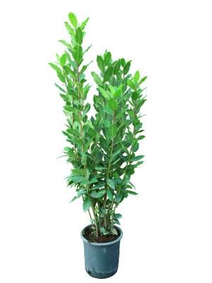 Laurel arbusto