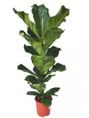 Ficus Lyrata 120
