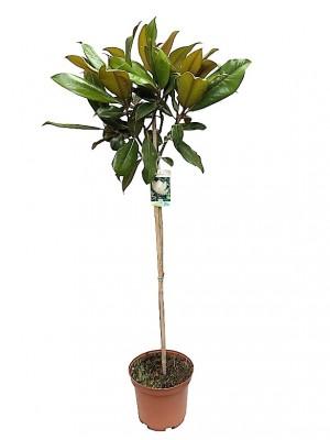Magnolia Grandiflora Arbol