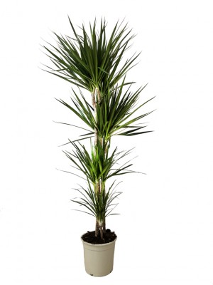 Dracena Marginata M30(DISPONIBLE SOLO PARA MADRID)