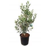 olivo maceta m25