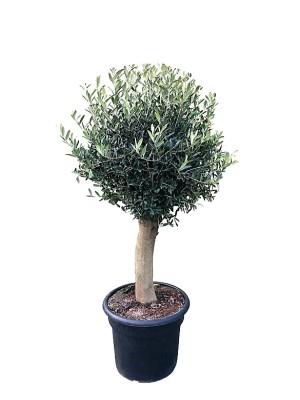 Olivo maceta M45