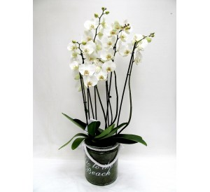 3 orquidea 2 varas vaso cristal
