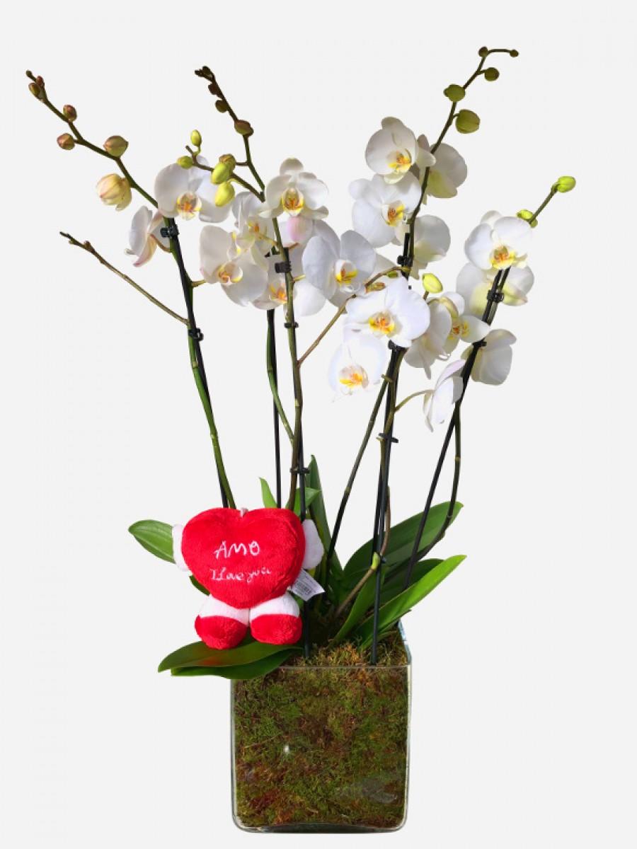 Orquideas Blancas San Valentin