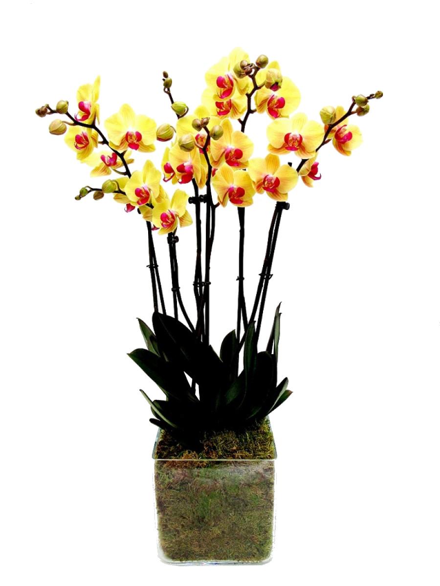 Orquídea de 2 varas amarillas en cristal