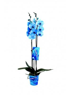 orquidea 2 varas azul