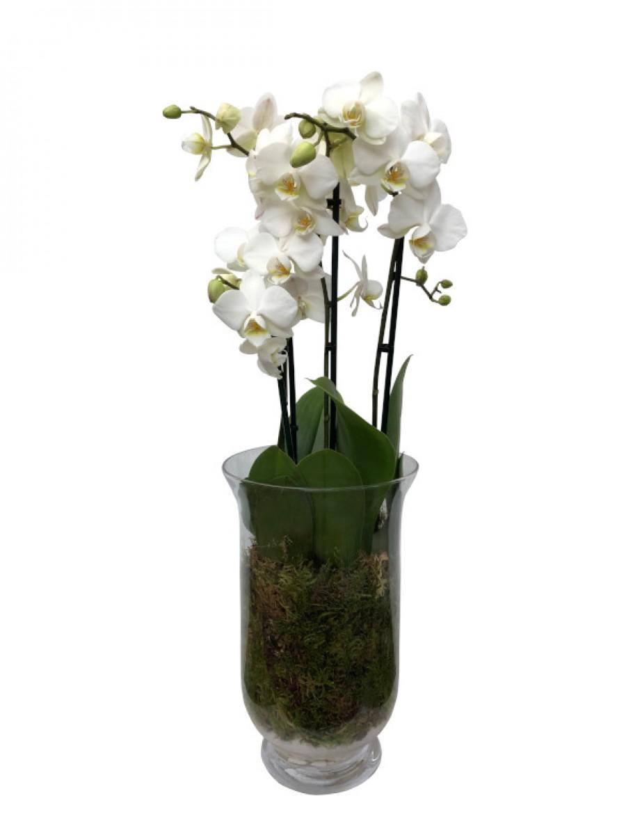 Orquídeas blancas en jarrón de cristal