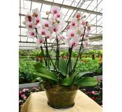 orquideas blancas centro morado en vaso cristal