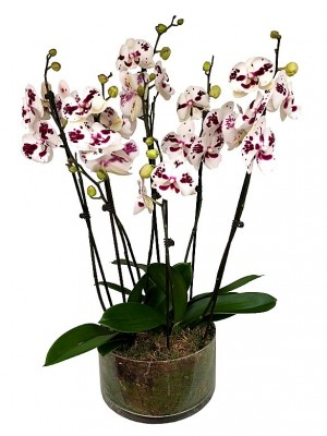 3 orquídeas de 2 varas en vaso de cristal