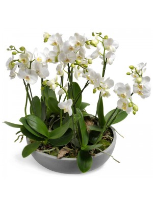 orquideas en maceta de fibra
