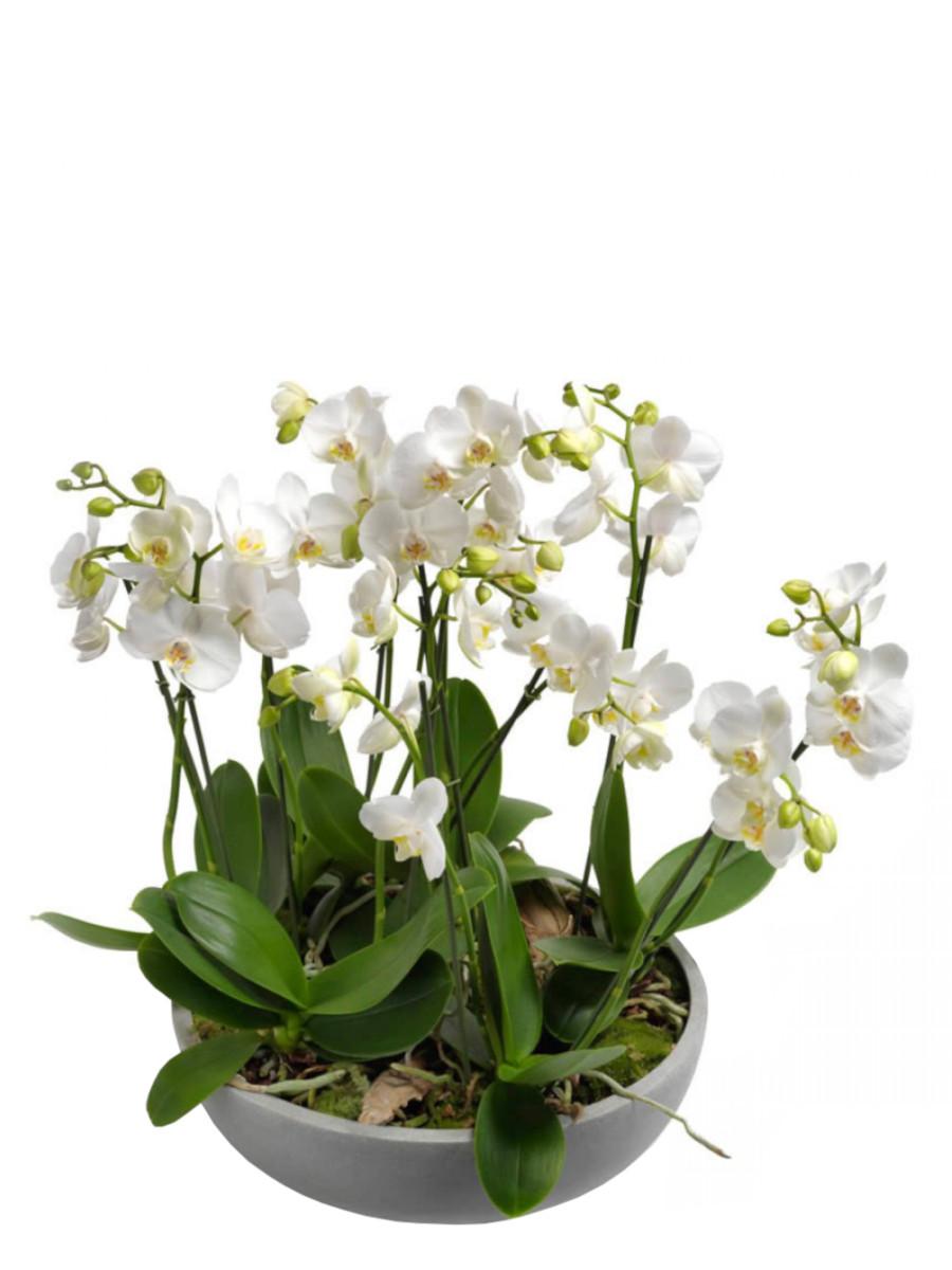 Orquídeas en maceta de fibra