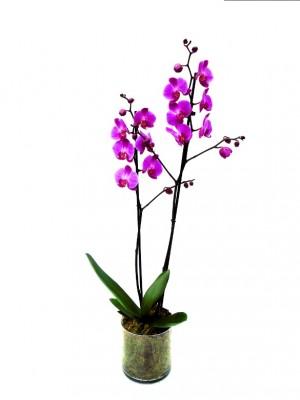 1 orquidea 2 varas en cristal