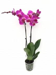 Orquidea 2 varas 60 cm(DISPONIBLE SOLO PARA MADRID)