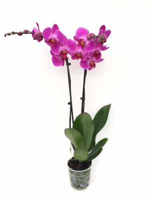 Orquidea 2 varas 60 cm(DISPONIBLE SOLO PARA MADRID)