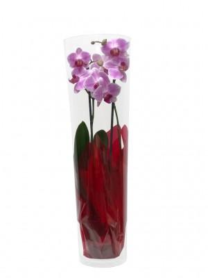 Orquídea en cilindro de cristal de 60 cm
