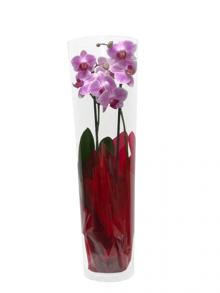 Orquídea cilindro 60 cm