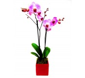 1 orquidea 2 varas rosa
