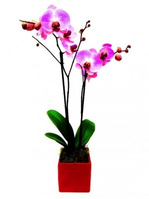 Orquídea rosa de 2 varas con musgo