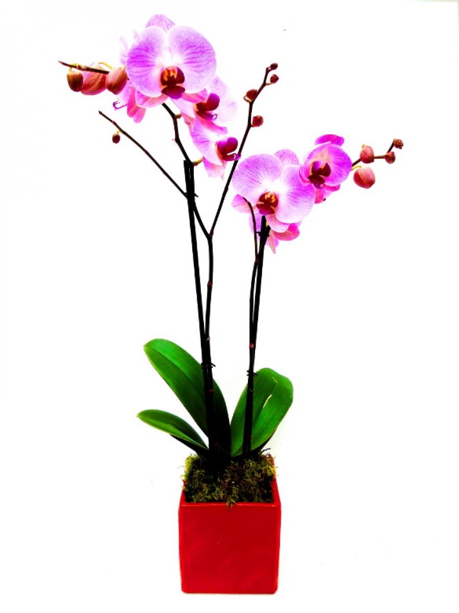 orquidea 2 varas rosa