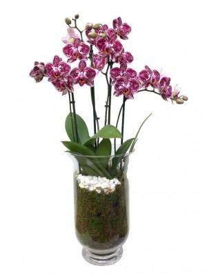 Orquídeas bicolor en jarrón de cristal