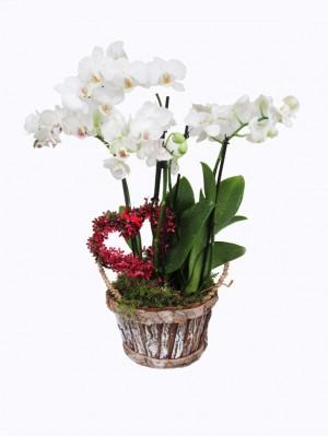 01 Cesta san Valentin orquidea blanca