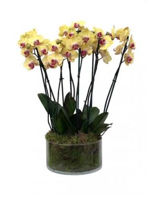 4 Orquideas amarillas 2 Varas en vaso de cristal