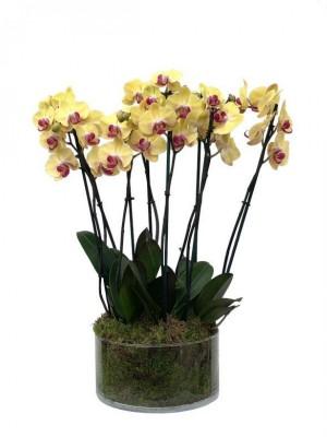 4 orquídeas amarillas de 2 varas en vaso de cristal
