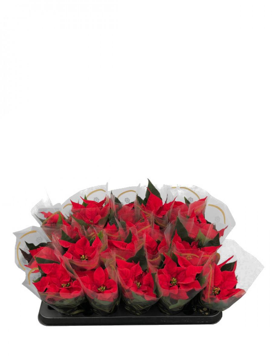 Pack de 20 mini Flores de Pascua ENTREGA EN 24 HORAS (DISPONIBLE SOLO PARA MADRID)