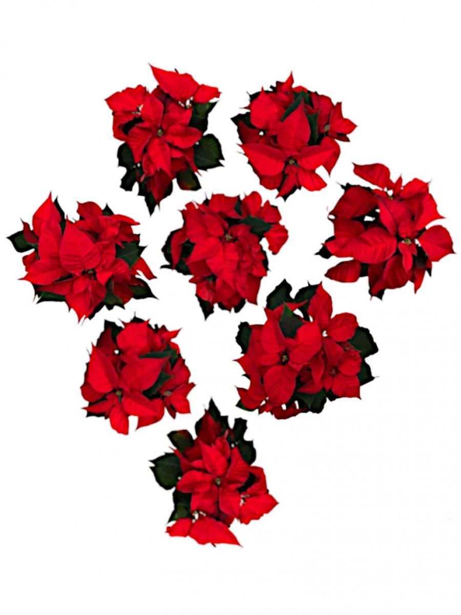 Pack de 8 Flores de Pascua M12 ENTREGA EN 24 HORAS. DISPONIBLE SOLO PARA MADRID
