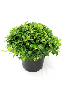 Pittosporum Tobira Nana M25