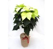 Poinsettia arbol blanca