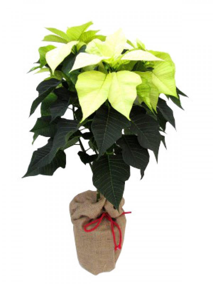 Poinsettia árbol blanca
