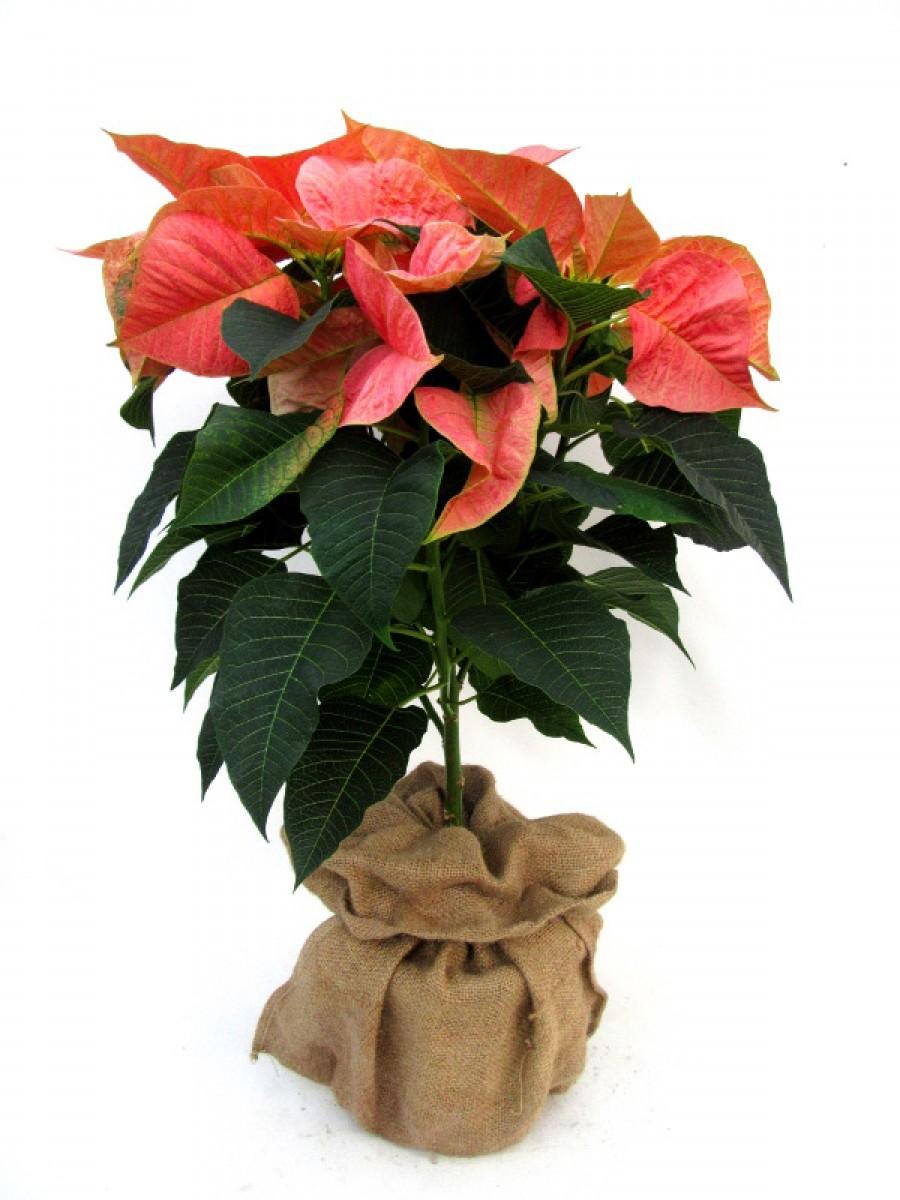 Poinsettia arbol Marble