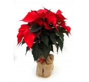 Poinsettia arbol roja