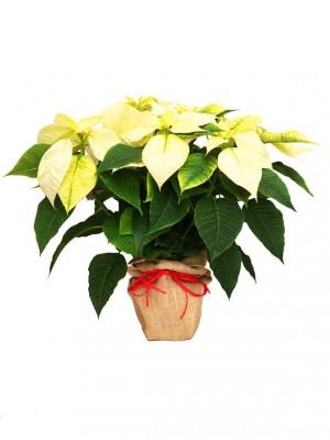 Poinsettia blanca decorada con arpillera