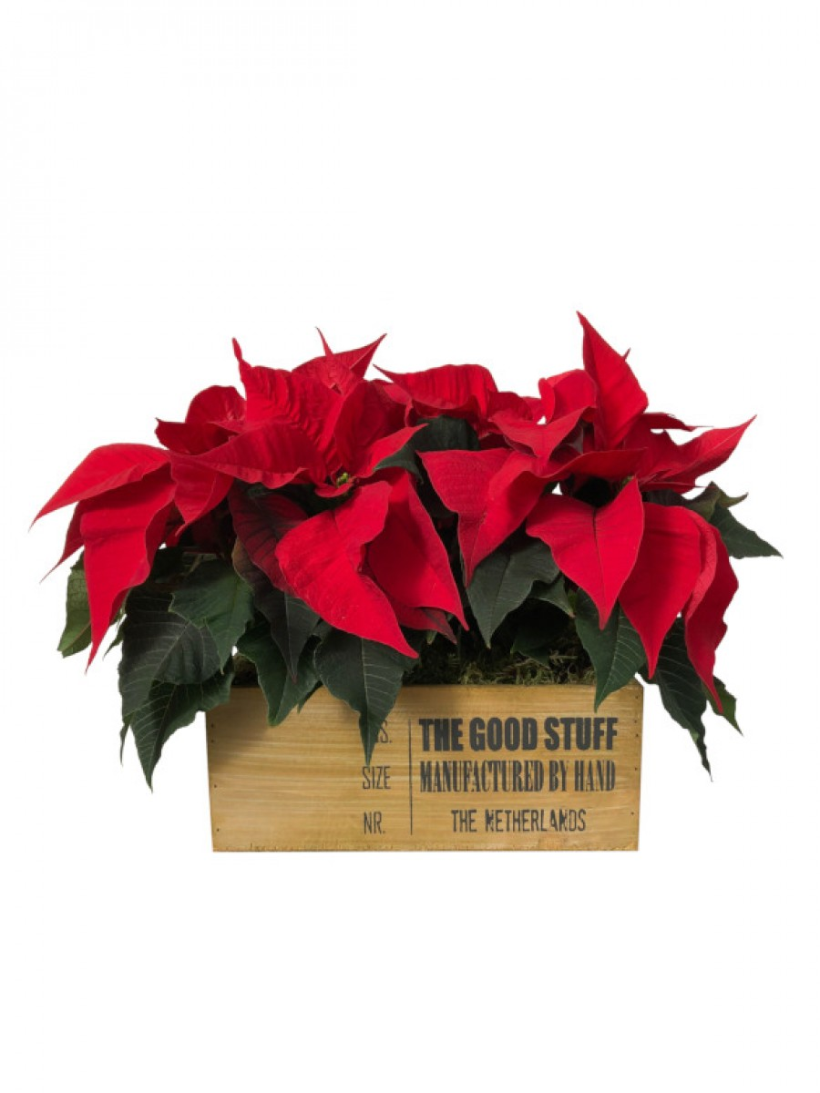 Poinsettia en caja decorativa