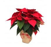 Poinsettia roja decorada con arpillera
