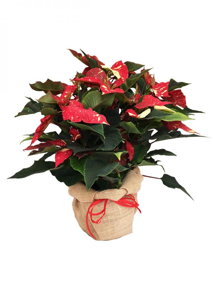 Poinsettia jaspeada decorada con arpillera