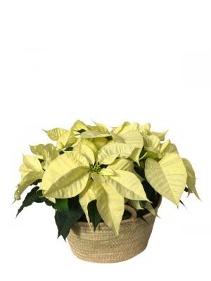 Cesto de Poinsettias amarillas M14