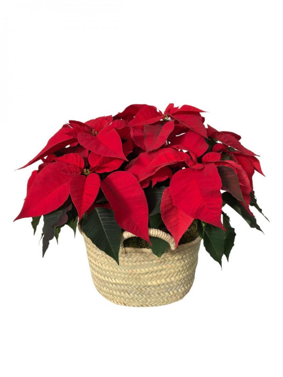 Cesto de Poinsettias rojas M12