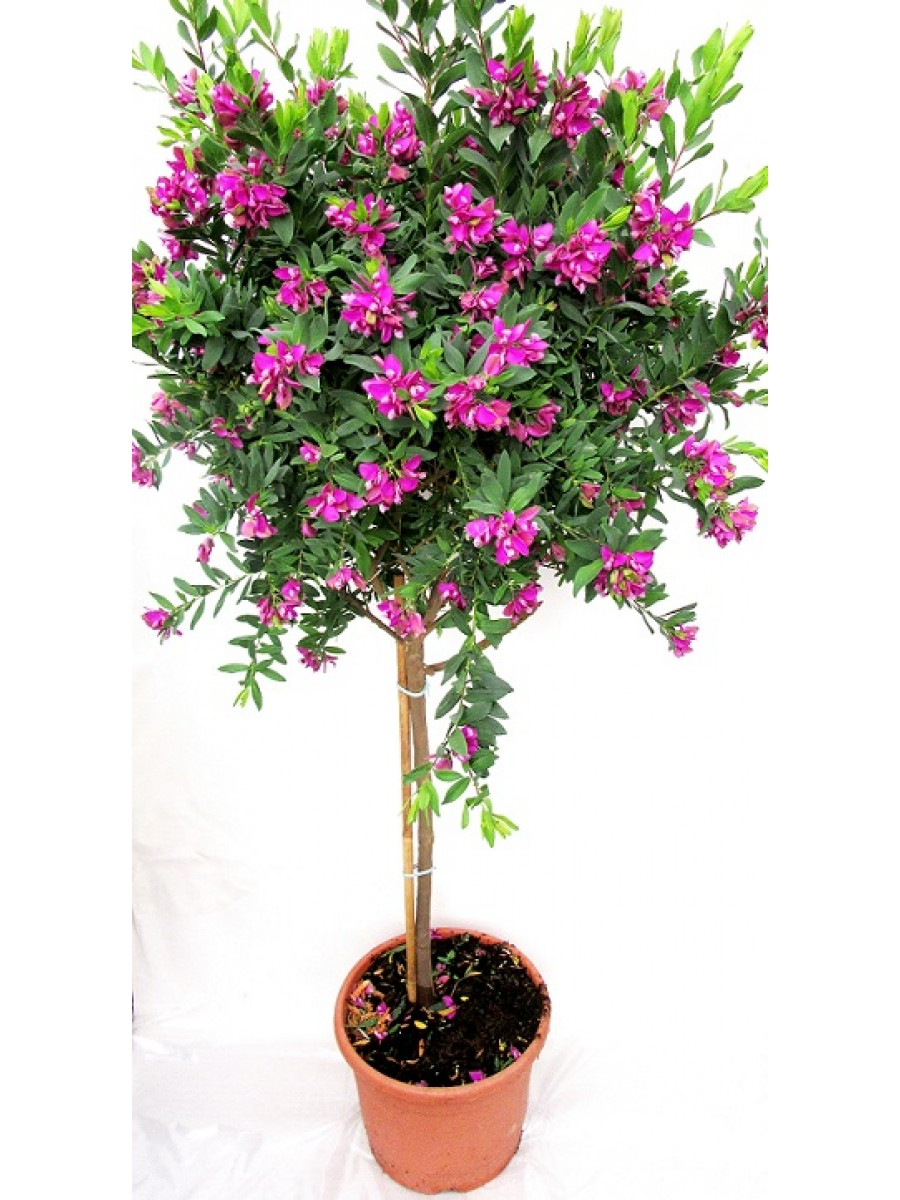 Poligala  Arbol(DISPONIBLE SOLO PARA MADRID)