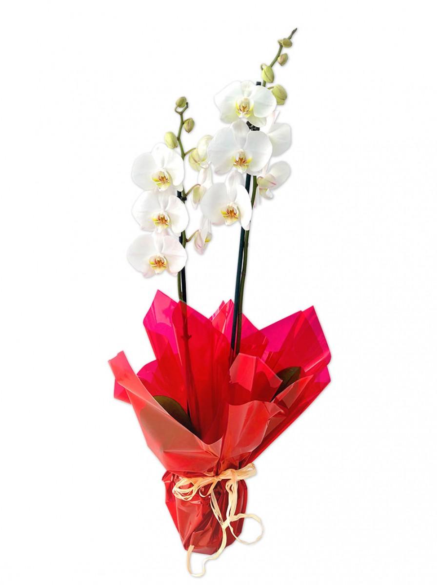 Orquídea de 2 varas envuelta en papel de regalo