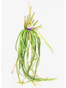 rhipsalis-cruciformis
