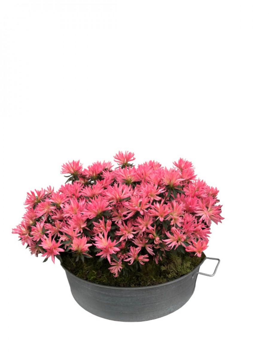 Azaleas rosa vivo en latón