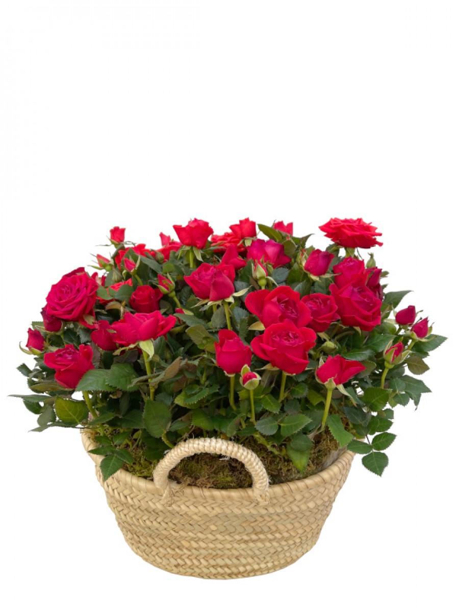 Rosal rojo en capazo