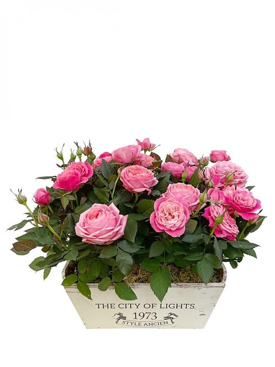 Rosal rosa en madera