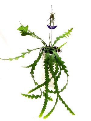 selenicereus-anthonianus