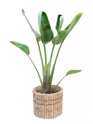 Strelitzia en cesta decorativa (DISPONIBLE SOLO PARA MADRID)