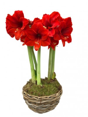 1 Cesta Amaryllis rojos